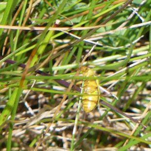 160714GO-Sulphur beetle underside