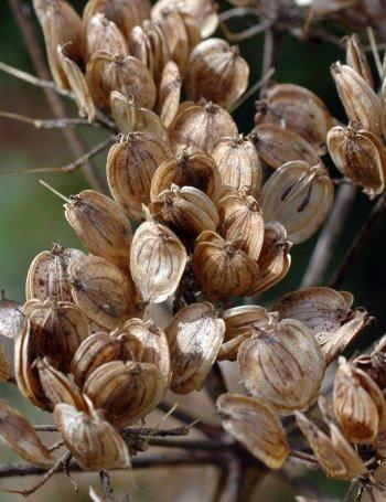 1/9/12 - Hogweed seeds