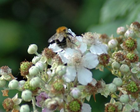 Common Carder Bee on bramble flowers