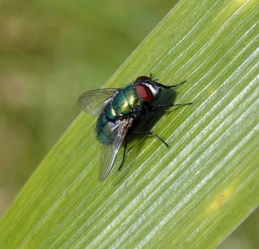Common Greenbottle Fly