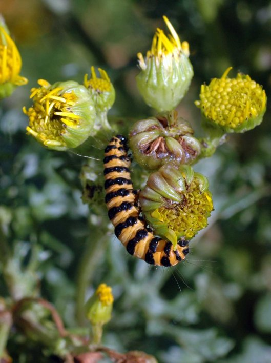 The distinctive larva of the Cinnabar Moth