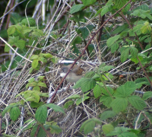 Whitethroats prefer to stay concealed in bushes