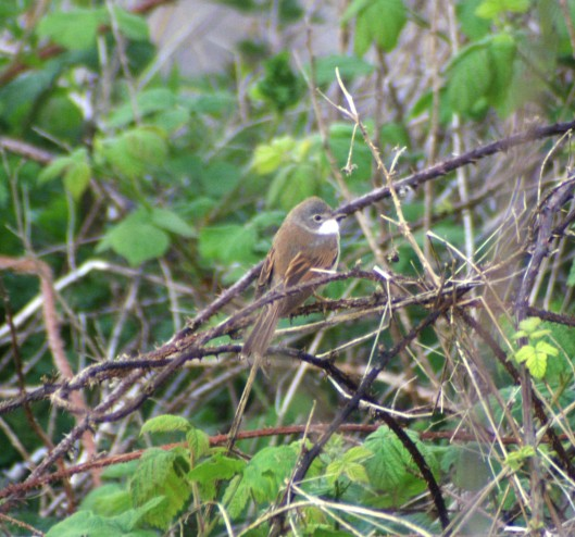 A male Whitethroat, Ceibwr, Pemrokeshire