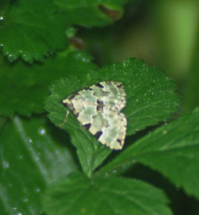 Green Carpet-colostygia pectinaria - Nevern, Pembrokeshire
