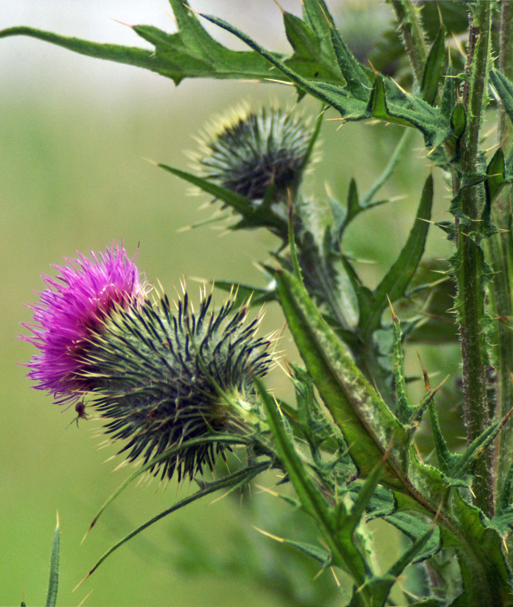 Pretty prickly Thistles   everyday nature trails