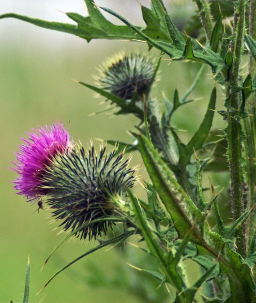 Spear thistle flowerhead providing a safe haven for a tiny spider