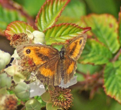 22/7/11 - Gatekeeper (m) nectaring on bramble flowers