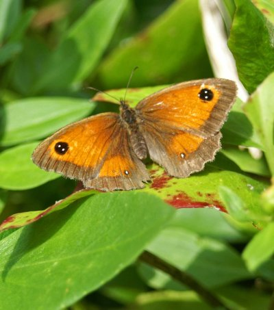 17/8/11 - Gatekeeper (female)- Rhos--on-Sea garden