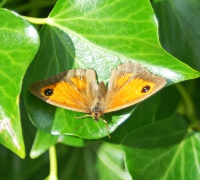 17/8/11-Gatekeeper basking on ivy leaf-Rhos-on-Sea garden