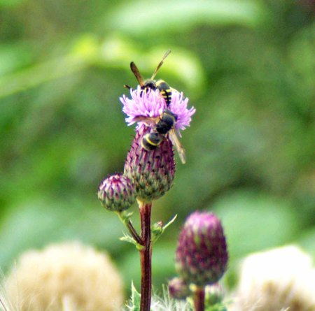 11/08/28-wall mason wasps on creeping thistle flower