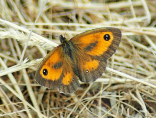 21/7/13-First sighting of a Gatekeeper this year-Little Orme