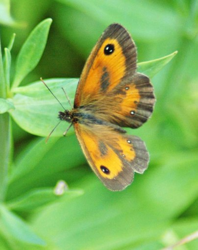 21/7/12-Gatekeeper - Pyronia tithonus
