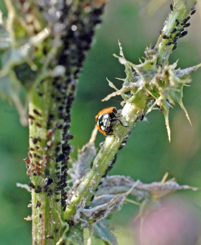 12/7/13-Creeping thistle stem covered with aphids- food for the 7-spot ladybird