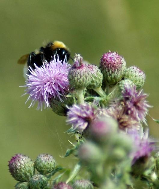 Bumblebee on male flowerheads