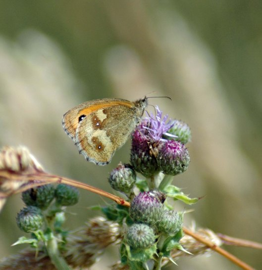 21/7/13-Meadow Brown butterfly on creeping thistle flowers
