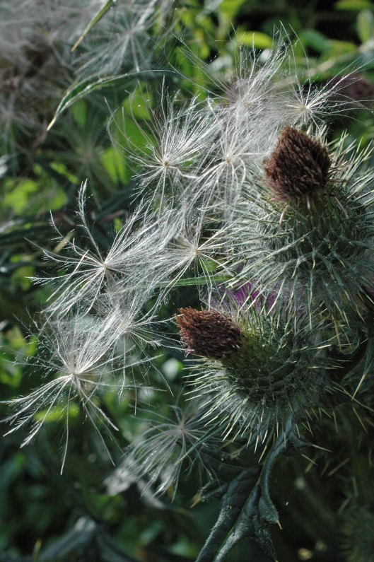 Spear thistle seeds