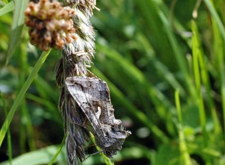 140615-Bryn Euryn-Silver Y Moth