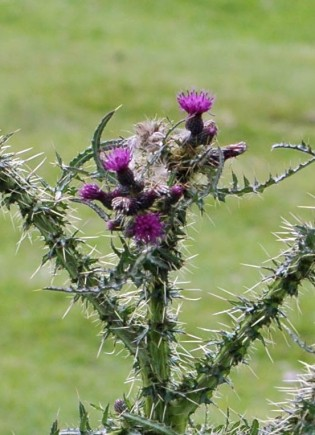 Marsh Thistle flowerheads are a darker purple than those of the creeping thistle