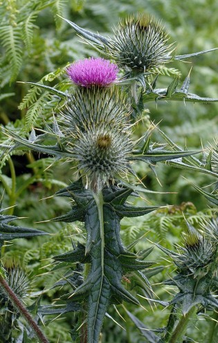 Spear Thistle flowerbud,flowerhead and leaf