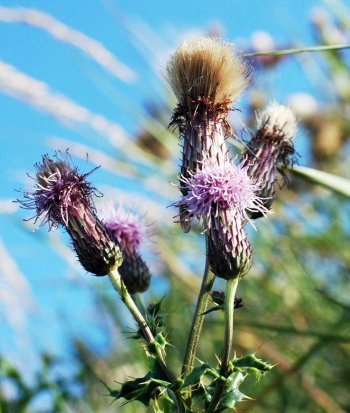 Flowerheads of Creeping Thistle-Cirsium arvensis