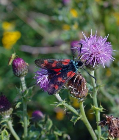 6-spot Burnet Moth on creeping thistle