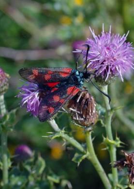 18/8/12- 6-Spot Burnet in thistle flower, Little Orme