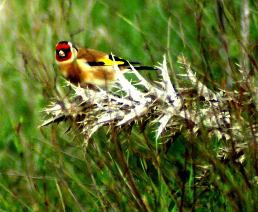 Thistle seeds are a favourite food of the goldfinch