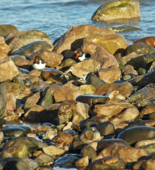 A curlew with food watched by Oystercatchers