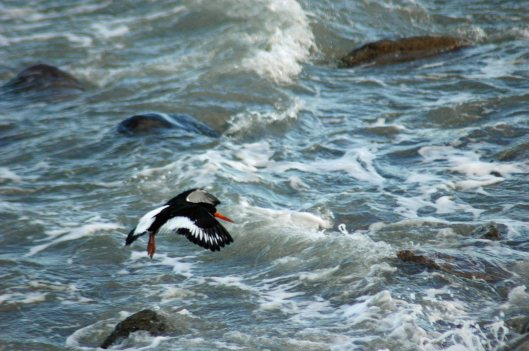 Oystercatcher about to land