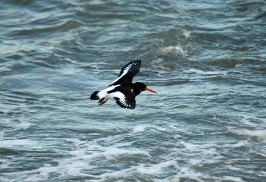 Oystercatcher flying in to land