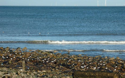 Oystercatchers as I most often see them, spread out at the far end of the seashore