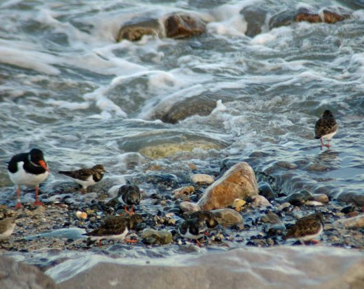 Turnstones are the first of the small waders onto the shore