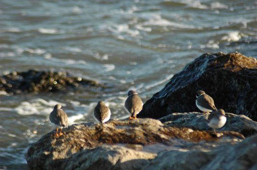 Ringed Plovers and Dunlin watching the water