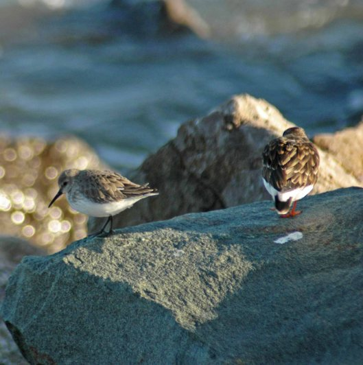 A Dunlin & a Turnstone together shows the size difference between them