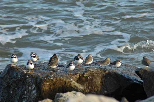 Dunlin, Ringed Plovers & Turnstones