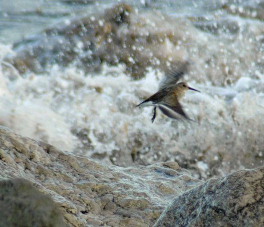 Dunlin flying in to land
