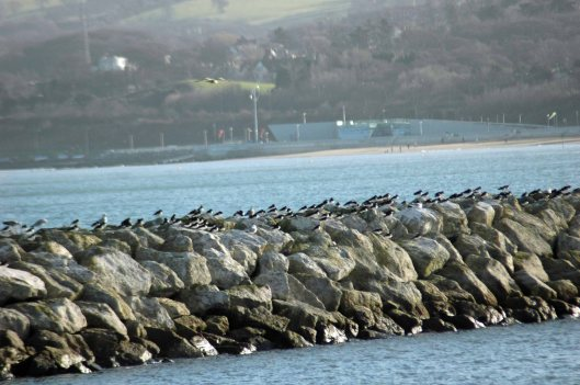 Oystercatchers lined up along the harbour breakwater