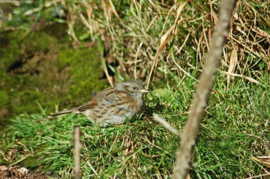 A dunnock making the most of a sunny spot