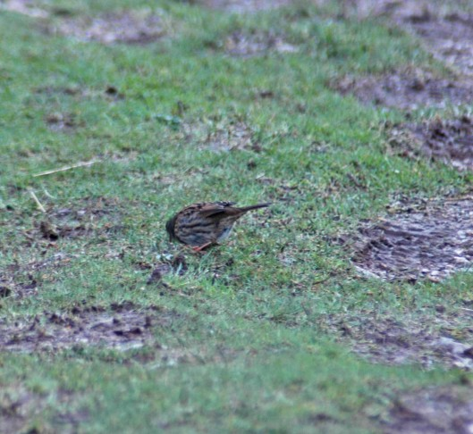A dunnock feeding on the slope of the downhill track