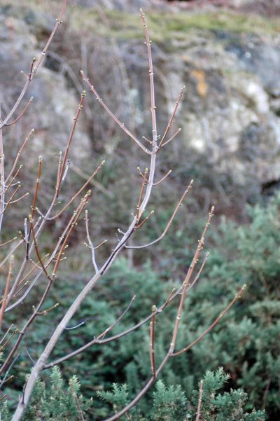 Signs of buds bursting