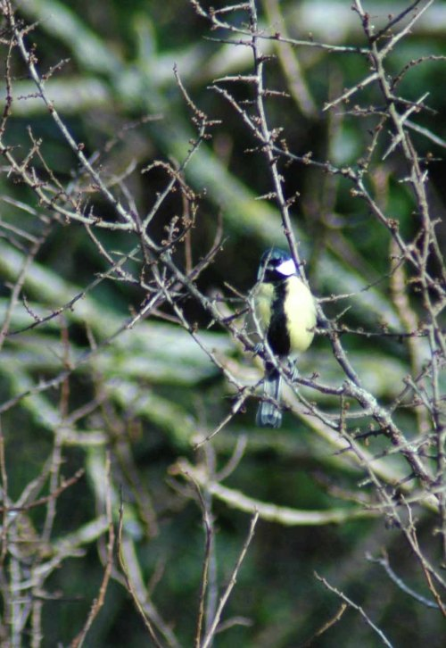 Great Tit- Parus major