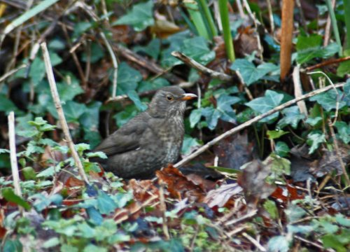 Female Blackbird rummaging around in dead leaves