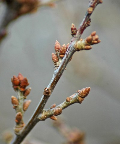 Swelling leaf buds