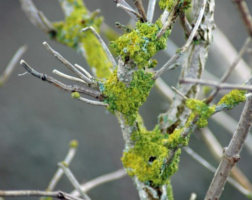 Bright green lichen on elder