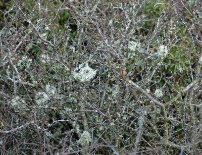 Tracery of blackthorn hung with small bunches of grey-green lichen