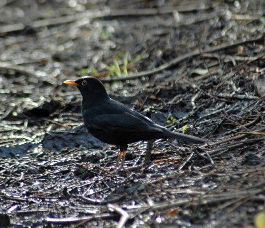 Blackbird- Turdus merula