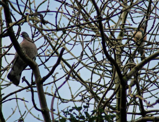 A wood pigeon and maybe a jay