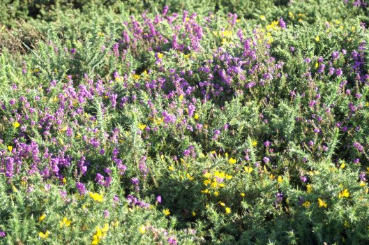 Dwarf gorse growing amongst heather on the Great Orme