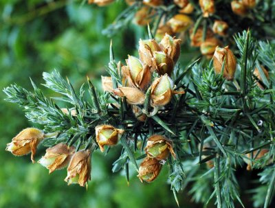 Gorse fruits forming