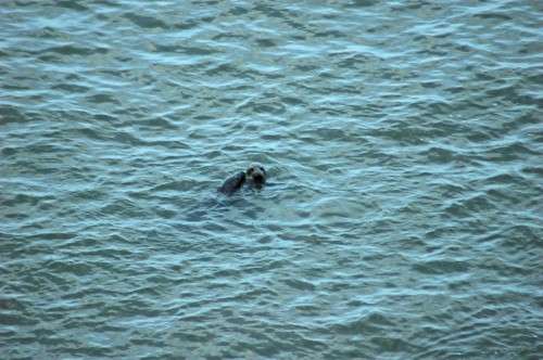 140128-Little Orme 2- Grey Seals swimming
